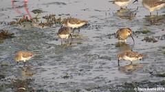Dunlin (Calidris alpina) Compilation including fresh juveniles (Steve Arena) Tags: bird birds video calidris jeddah saudiarabia videos dunlin calidrisalpina shorebirds shorebird wader dammam dunl southjeddah
