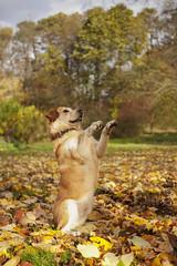 Beggar [week 4] (miss_n_arrow) Tags: autumn trees orange dog fall colors yellow mix husky bright canine beggar juneau sit beg huskador