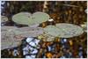 20141001. Sõbesoo bog. 6046 (Tiina Gill (busy)) Tags: autumn lake plant nature estonia bog rflection bogpool fallwater sõbesoo