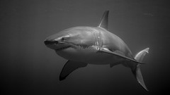 Dangerous zone - Zone dangereuse (Sharkoliv) Tags: underwater 2014 guadalupeisland nautilusexplorer