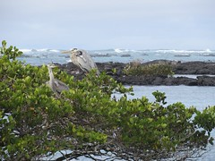 Galápagos - Isabela-149