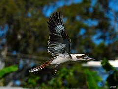 DSC_0005 (RUMTIME) Tags: bird nature birds fly flying flight feathers feather queensland kookaburra coochie coochiemudlo
