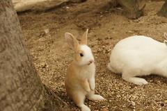 rabbit (Takashi K. A) Tags: autumn sea wild rabbit japan island japanese boat tv war paradise map spot tourists lovers gas resort hiroshima cnn ww2 lovely poison visitors popular inland relics guardian usagi takehara erased 2014 seto foreigner okunoshima morethan700rabbits