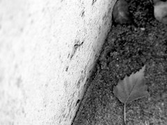 leaves, pathway, concrete wall, extremely shallow depth of field, Saanich Fairgrounds, Vancouver Island, BC, Panasonic Lumix FZ200. 10.29.14 (steve aimone) Tags: blackandwhite canada monochrome leaves wall concrete lumix britishcolumbia monochromatic panasonic tones pathway saanich shallowdepthoffield grays tonality lumixfz200