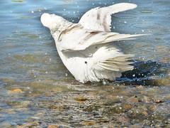 Pigeon bathing (Paco_NaturePhotography) Tags: naturaleza nature birds bath zoom outdoor pigeon dove aves panasonic pajaros bain bathing bao oiseaux baarse naturalezacautivadora prendreunbain dmcfz72 pacovalero