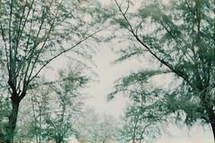 Look up! (Atit.Kinna (zalyx)) Tags: tree pinetree pine pentax pentaxmesuper kodakgold200
