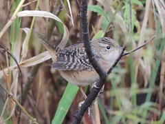 Sedge Wren (Turtlerangler) Tags: bird washington arkansas wren