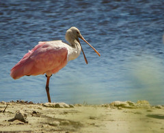 Roseate Spoonbill (kimmienflorida) Tags: pink usa nature birds photography unitedstates florida wildlife birding handheld roseatespoonbill crawfordville sonyalpha stmarkswildliferefuge sigma150500 sonyslta77 kimmienflorida