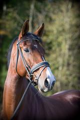 Enya (j.soffers) Tags: horse paard kwpn paardenhoofd