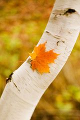 ISP2021969 (tigercop2k3) Tags: autumn tree nature closeup outdoors nobody treetrunk mapleleaf treebark twoobjects endings imagesource orangecolour whitebirchtree is737 october2006release is737068