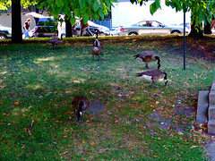 "Canada Geese feed at Grant Park • <a style=""font-size:0.8em;"" href=""http://www.flickr.com/photos/34843984@N07/15539991455/"" target=""_blank"">View on Flickr</a>"