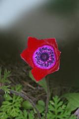 anemone coroniaria rouge (luka116) Tags: flowers flower fleur fleurs flora blumen greece anemone fiori anemones 2008 rhodes grce flore rhodos anemonecoronaria renonculaces