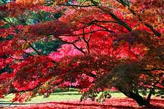 Westonbirt - Autumn Leaves (Heaven`s Gate (John)) Tags: autumn trees red sun fall topf25 leaves yellow season national westonbirt arboretun 50faves 10faves 25faves johndalkin heavensgatejohn