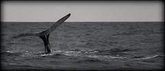 Whaaale <3 (Victoire Grenu) Tags: ocean africa blue sea wild mer canon tail free whale libre baleine canoneos100d