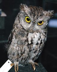 Otus asio (eastern screech owl) (James St. John) Tags: otus asio eastern screech owl megascops owls strigidae bird birds vertebrate vertebrates