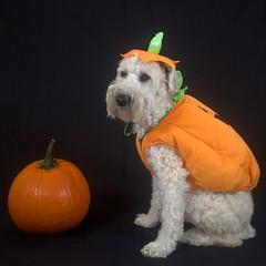 Orange (Eric.Ray) Tags: canon eosm digital daily dog challenge square beautiful crop format photo project 365 jack o lantern pumpkin halloween costume