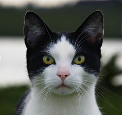Hypnotise (Andy Moshy Taylor) Tags: cats pets animals wildlife thenetherlands rhenen feral