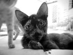 Los Gatos de Xilo (chicitoloco) Tags: cats cat chats chat gatos gato gata nicaragua neko katze managua gatitos katzen gatti kater gatita gatito ktzchen gatas streetcat aristocats koneko streetcats gattini gatitas gaton gattacci xiloa chicitoloco xilo jiloa nekogasuki jilo