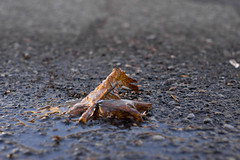 _DSC3140 (Simply Angle) Tags: autumn fall ice wet water closeup puddle leaf rocks pavement stones sony dry pebbles f18 2014 canonfd fdmount canonfd50mmf18 chewelahwa sonyphotographing sonyphotography nex3 sonynex3 fdnex