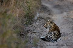 IMG_2689 (roger_the_dodger) Tags: southafrica wildlife safari leopard sabi sands krugernationalpark kruger simbambili
