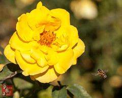 Yellow Rose of Bee (*PhotoByJohn*) Tags: california macro nature garden insect flora bee 5d honeybee flyinginsect beeinflight southcoastbotanicgarden ranchopalosverdes beemacro photobyjohn canon5dmkii 5dmkii
