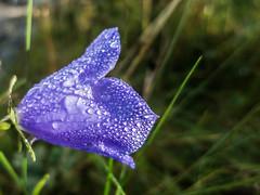 IMG_0113.jpg (Geir Halvorsen) Tags: macro blomst dugg 201408grimstad