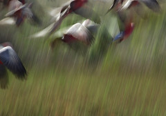 Blurred photo of birds in flight (Sallyrango) Tags: abstract movement blurry arty action australia blurred birdsinflight mistake accidental westernaustralia exmouth galahs