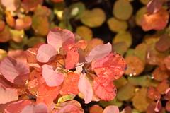 Turtmann 2014 (luka116) Tags: automne schweiz switzerland suisse swiss svizzera arbre wallis octobre valais talus 2014 cotinuscoggygria turtmann coteaux arbustre getwing