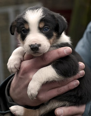 Simon's new puppy! (A child in the night) Tags: new puppy fun llangwmcap