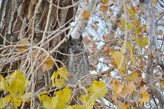 November 9, 2014 - An owl among the fall colors at the Rocky Mountain Arsenal. (Ed Dalton)