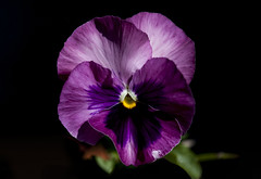 Pansy (Klaus Ficker) Tags: flower macro closeup canon pansy blume eos5dmarkii klausficker