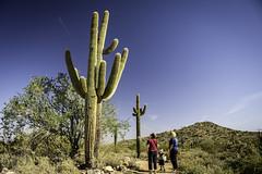 Saguaros (M$ingh.) Tags: arizona cactus phoenix nikon desert hills saguaro elmirage carnegieagigantea d7100 whitetankmountainpark nikond7100 manindrasingh
