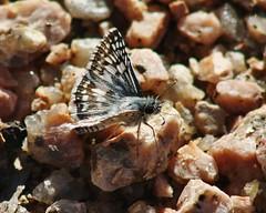 Pyrgus communis, Common Checkered-skipper (tripp.davenport) Tags: tx skipper lepidoptera brownsville cameroncounty pyrguscommunis commoncheckeredskipper sabalpalmsanctuary