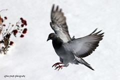 Pigeon landing. (Gillian Floyd Photography) Tags: snow pigeon landing