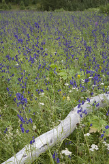 060817-053 (USFS Region 10) Tags: chugachnationalforest alaska forestservice monkshood wildflower wildflowers field fieldofflowers fieldofwildflowers purple blue summer spring landscape kenaipeninsula aconitumdelphinifolium