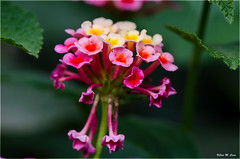 Flor de lantana (Jose Manuel Cano) Tags: lantana flor flower planta plant nikond5100 color colour