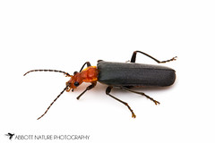 Soldier Beetle (Podabrus pruinosus) 20120609_2900.jpg (Abbott Nature Photography) Tags: animals arthropodaarthropods cantharidaesoldierbeetles coleopterabeetle hexapoda insectainsects invertebratainvertebrates organismseukaryotes photography polyphaga technique whiteseamlessbackground kernville california unitedstates us