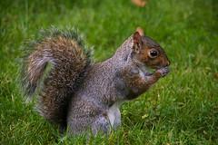 Praying For Food (fotojak1) Tags: squirrel rodent animal wildlife bushytail edinburghsroyalbotanicgarden scotland autumn october2016 outdoor outdoors outside handheld nikond7100 sigma18200mm f56at1500 iso720 johnritchie edinburghsquirrels fotojak