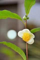 Tea Flower (nirsha) Tags: tea flower