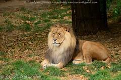 Afrikaanse leeuw - Panthera leo leo - African Lion (MrTDiddy) Tags: afrikaanse leeuw panthera leo african lion bigcat grotekat big kat grote cat feline zoogdier mammal male mannelijk nestor zooantwerpen zoo antwerpen antwerp