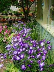 Petunia Parade, Glen Arbor, MI, 2016 (Tom Powell) Tags: glenarbor leelanau michigan flowers 2016 nikond40 garden