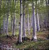 Slovenian forest (steve-jack) Tags: hasselblad 501cm 50mm fujicolour 100 slovenia forest primeval beech medium format 120 6x6 film