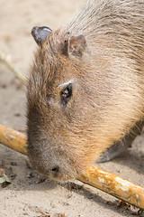 2016-10-08-14h32m06.BL7R1971 (A.J. Haverkamp) Tags: canonef100400mmf4556lisiiusmlens krefeld nordrheinwestfalen germany capybara dierentuin httpwwwzookrefeldde zoo de