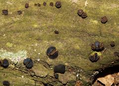 Bulgaria inquinans - Black Bulgar (LostnSpace2011 - Back Soon) Tags: fungi cup fungus bulgaria black bachelor buttons oak trunk panshanger park ash hardwood foray
