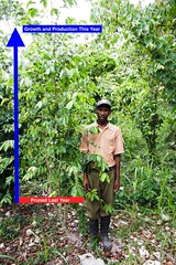 2016 Oct - Joel  with pruned coffee plant (Foods Resource Bank) Tags: haiti caribbean coffee farmers men women pruning improved income humanitarian food security development charity hunger