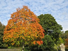 5130 Sycamore autumn colour at Plas Newydd (Andy - Daft as a brush - don't ask!) Tags: 20161021 aaa autumncolour brynsiencyn ccc cymru nationaltrust northwales ooo orange plasnewydd red rrr sss sycamore tree ttt