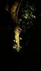 Light on bark (smcnally24601) Tags: box hill national trust autumn fall surrey hills mist morning sunrise england britain