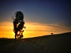 The lonely sheep (Jaco Verheul) Tags: sheep sun sunset dusk sky cloud clouds tree silhouet serene jacoverheul phonephoto lgg3 lg g3 road outdoor fence landscape orange blue dutch dike