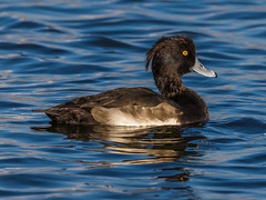 Tufted Duck (Paul West ( pwestphoto.co.uk )) Tags: birds nature coastal countryside tuftedduck duck tufted