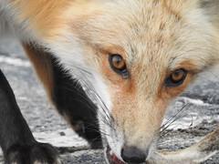 Hungry Fox (larie200) Tags: wildlife fox new jersey